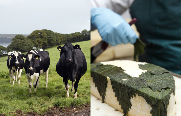 Dairy Cows & Cornish Yarg Cheese