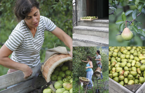 Pear Pickers