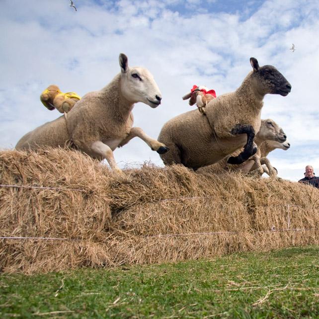 SheepRacing_1