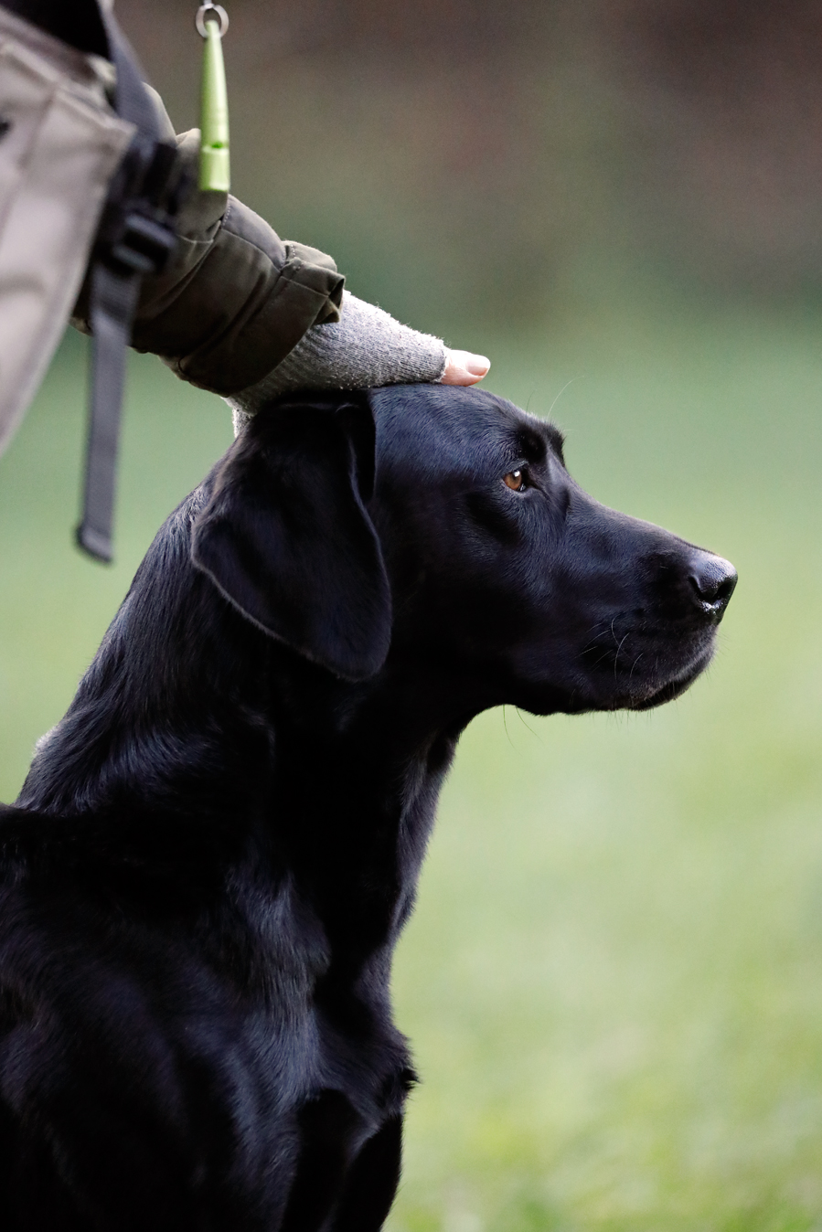 Field sports photography. Labrador retriever praised by owner.