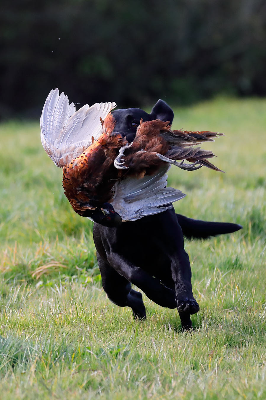 Field sports photography. Labrador retriever returns to handler after it picks a cock pheasant