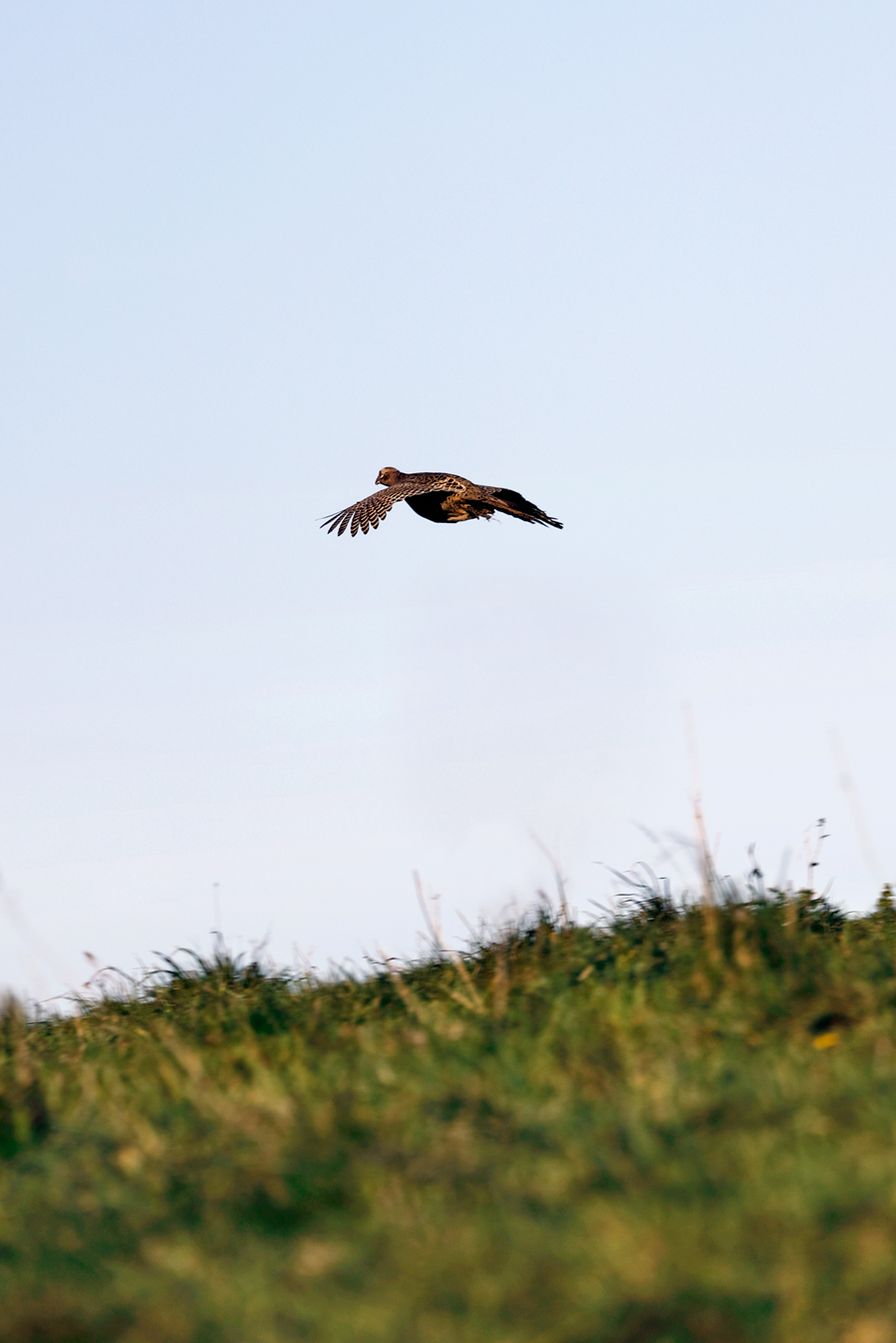 Field sports photography. Hen pheasant during a driven shoot