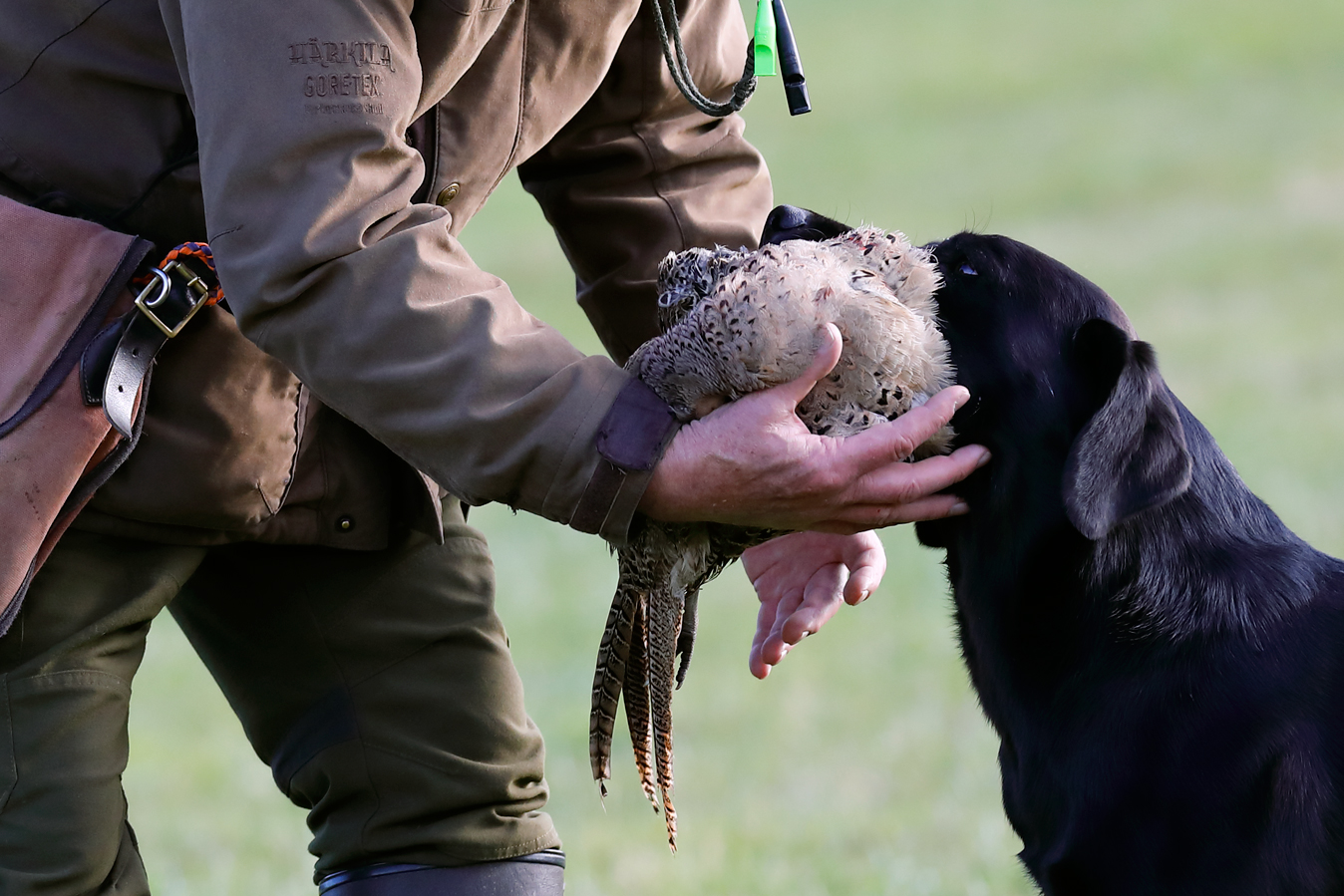 Field sports photography. Labrador retriever releases a hen pheasant to it's handler