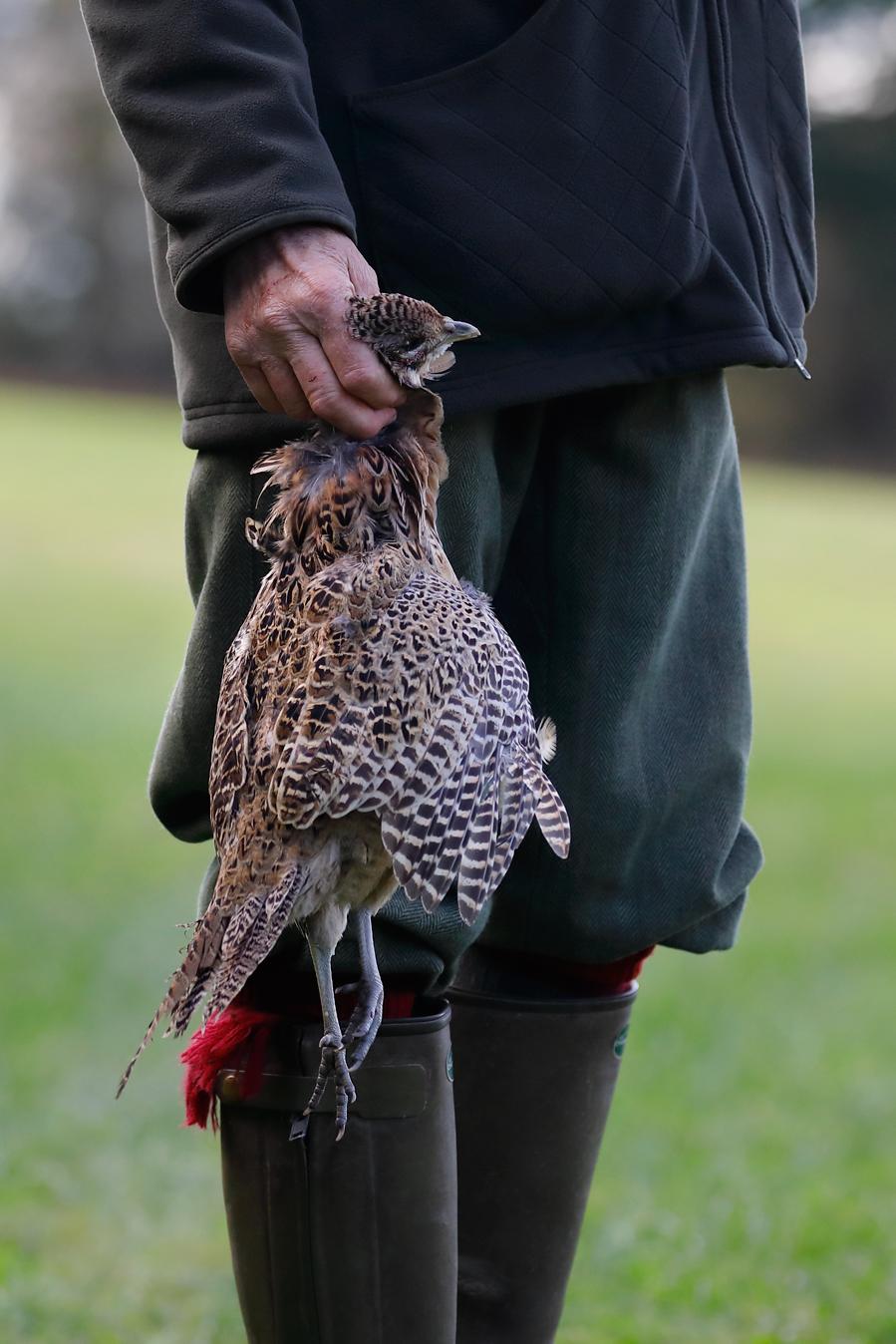 Field sports photography. Hen pheasant