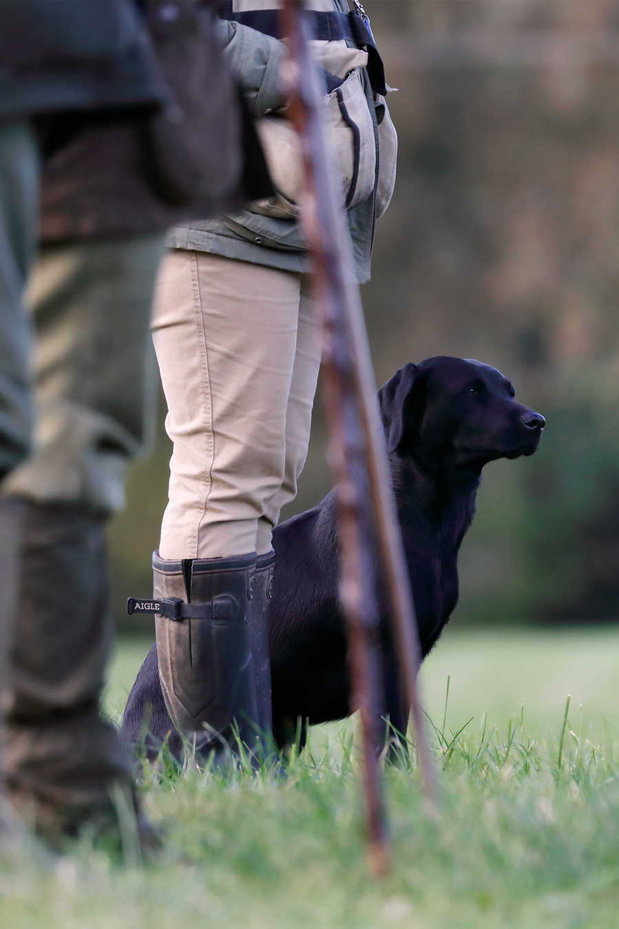 Field sports photography. Competitor awaits judges direction for next retrieve during a field trial